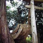 サムライくんたちの通学路でもあった町営住宅近くにある大木と小さな祠・・・