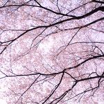 桃色の花は女桜 男桜より1週間ほど遅れて咲くと言われています