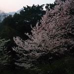 登山道入り口から10分ほどのぼると2色の桜の花が目に入る♪