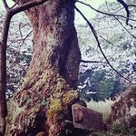 樹齢600年以上なのだとか さすがに幹はその年数と歴史を物語っていて・・・
