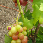 Tuin bij huis, druiven, zijn eetbaar