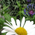 Tuin bij huis, margriet en korenbloem, eetbaar