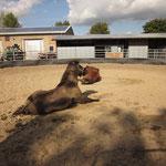 Mittagspause mit Paniermöglichkeit für die Ponies in Angern.