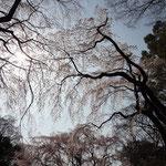 桜の木 面白い雰囲気