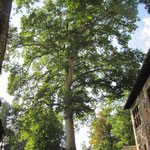 Baum gepflanzt anscheinend im Jahre 1530 und 42 m hoch
