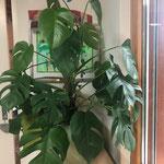 Die Monstera ist mein absoluter Pflanzen-Liebling!