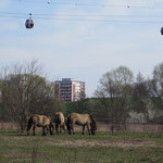"""9. September: Die Grün Berlin weitet im Wuhletal die Beweidung durch Nutztiere aus. Auf den neuen Weiden werden zunächst Pferde und Rinder als """"tierische"""" Landschaftspfleger für eine schonende Mahd eingesetzt."""