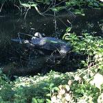 12. August: Der Biber-Mord im Wuhletal löst großes Entsetzen aus. In einem Kleingewässer war der Säuger tot aufgefunden worden. Die Obduktion ergibt, dass dem Tier durch Schläge mit einem harten Gegenstand die Wirbelsäule gebrochen wurde. © Birgitt Eltzel