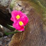 樹齢200年以上のヤブツバキ