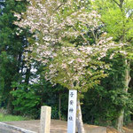 社号標と八重桜