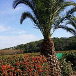 """Palmen und Rebstöcke im """"Camp du Domaine"""""""