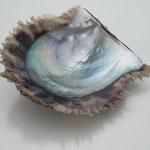 美しい干渉色を生み出すあこや母貝