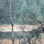 Urwald am Hornsee