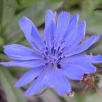 Edward Bachs Chicory