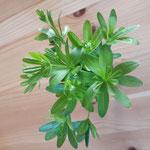 Waldmeister - Aus der Gattung der Labkräuter. Bevor der Waldmeister blüht, sollte man ihn für die Maibowle (oder für Waldmeistersirup) pflücken und (an-)trocknen. Dann entfaltet er sein ganzes Aroma.