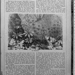 """Anton Kerner: """"Die Blume des Maitranks"""" erschienen 1867 in """"Die Gartenlaube"""", Heft 16, S. 245."""