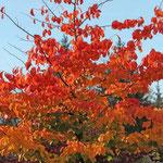 mein Eisenholz-Baum (Herbstfärbung)