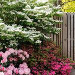 mein Etagen-Schneeball, Rhododendron, Azalee