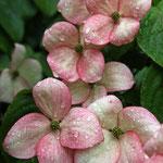 mein jap. Blumenhartriegel
