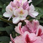 mein Rhododendron