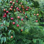 mein chin. Blumenhartriegel mit Früchten im Herbst
