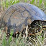 Schildkröte - von uns ins sichere Gras getragen