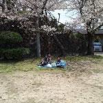桜の下でお弁当。今日はタンドリーチキンと、コールスローサンドでした。