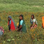 Inde alentour de Varanasi, cueuillette d'oeillet qui serviront d'offrande et de collier pour les cérémonies religieuses