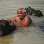 Inde, Varanasi, à la sortie de la ville un gardien de buffle nettoye sont troupeau