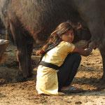 Inde, Région de Varanasi, une jeune fille aide son papa à la trite des buffles