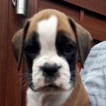 Rüde 1, L-Wurf, 7 Wochen alt