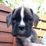 Rüde 2, L-Wurf, 7 Wochen alt