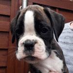 Rüde 3, L-Wurf, 7 Wochen alt