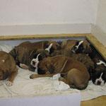 K-Wurf  Wurftag: 07.03.2003            WS: 4/3  Vater: Queros dei Cavalieri del Monferrato Mutter: Lorena von den Busch