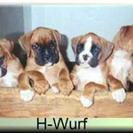 H-Wurf  Wurftag:  Vater: Conner vom Hanseatenhof Mutter: Annabella vom Stedinger Hof