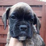 Hündin 2 , M-Wurf, 7 Wochen alt