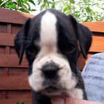 Hündin 2, L-Wurf, 7 Wochen alt