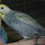 Pearl II knabbert an der Vogelmiere