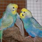 Angel und Otto im Schutzhaus - Otto beim Balzen