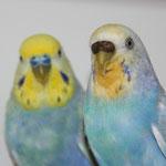 Otto und Jolly - ein bewährtes Zuchtpaar