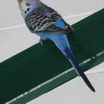 Blue bei einem seiner ersten Freiflüge