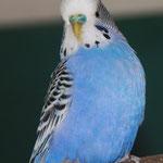 Blue wohlgenährt Jänner 2011 - wird auch von zwei Hähnen gefüttert