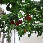 桃太郎トマト会議室