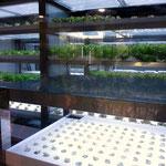 レタスの水耕栽培