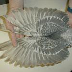 Hämmerungzeichnung eines blaufahlgehämmerten Weißlatzes