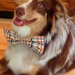 """11th Place: Clyde Robison a Miniature Australian Shepherd Mix from Blacklick, OH. """"Because I'm awesome in my Pawsome Plaid, or any of my CollarDoos bow ties!  They make me feel like one dapper dog...watch out ladies."""""""