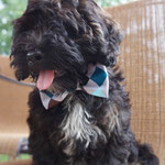 """13th Place: Francis James, a Lhasa Poo from Reynoldsburg, OH. """"Francis loves his new bow tie! It's his first one (he's only 3 months.) But, there are definitely more CollarDoos Bow Ties to come. I love the styles and prices!!"""""""