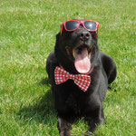 """12th Place: Boss Broussard, a Labrador Retriever from Columbus, OH. """"Well besides being the coolest dog in the game, I like to switch up my wardrobe and Collardoos gives me that opportunity. Collardoos bow ties are great for all occasions."""""""