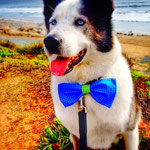 """1st Place: Kobe Williams, a Husky/Malamute Mix from San Diego, CA. """"Because his tuxedo is not complete without a CollarDoos bow tie."""""""