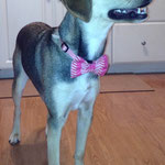 """3rd Place: Ellie Klinglesmith, a Beagle/Lab Mix from Gahanna, OH. """"CollarDoos bow ties give Ellie the girlie look that goes perfect with her sassy personality! Plus, she gets a lot of extra looks from the dogs at the dog park now!"""""""